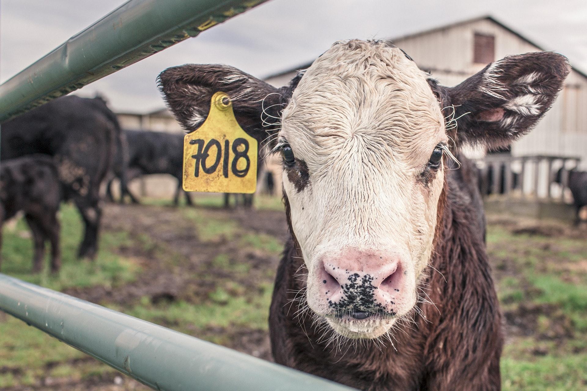 Calf looking through iron gate